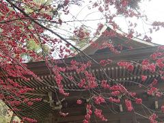 御霊神社の緋桃