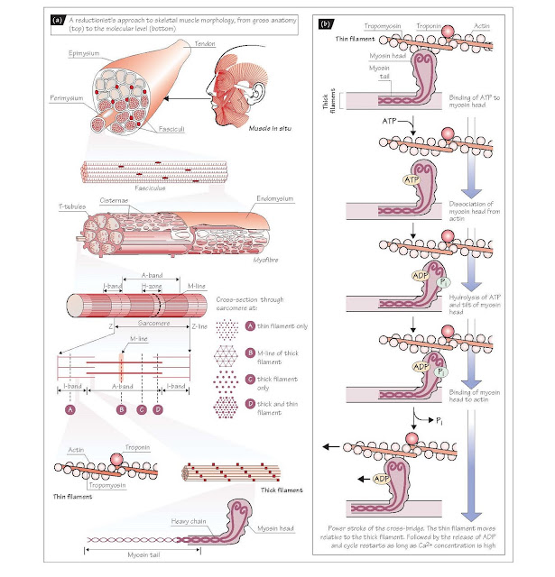 Skeletal Muscle And Its Contraction