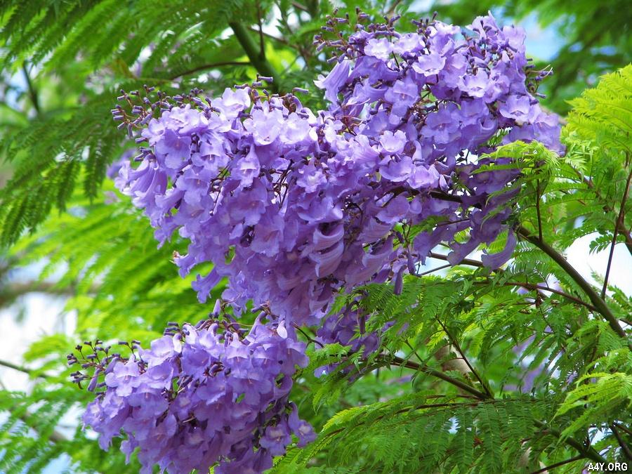 cận cảnh chùm hoa phượng tím