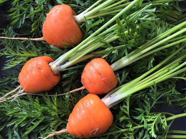 Vier Karotten der Sorte Pariser Herzchen mit dem Grünkraut