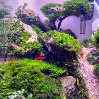 panduan menanam moss aquascape dengan sistem kering