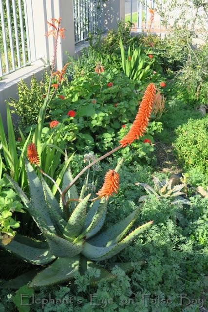 Karoo Koppie with Aloe marlothii