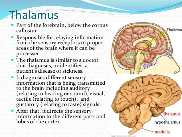 brain thalamus function - photo #2