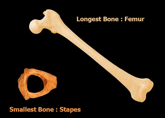 Smallest And Longest Bone In Human Body