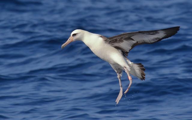 Laysan Albatross