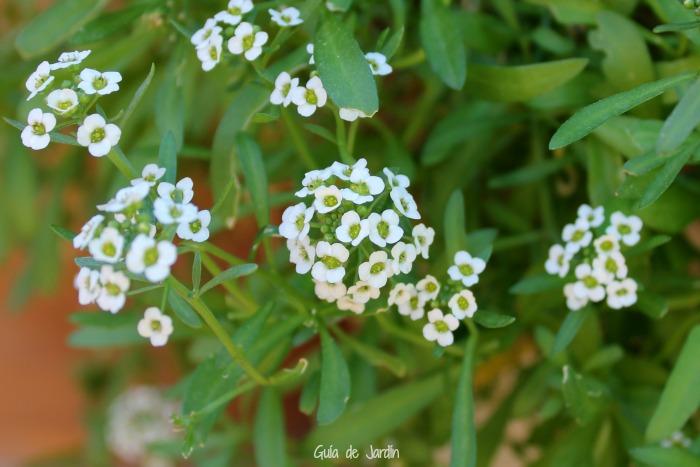 Flores de aliso