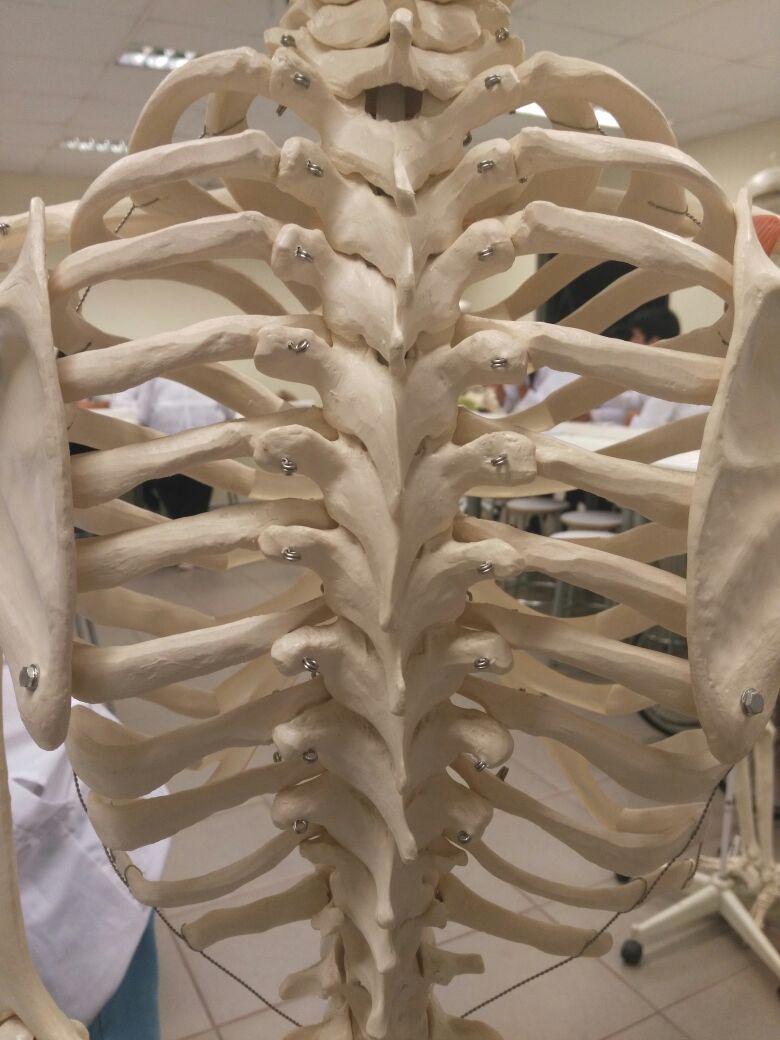 Osteología de la columna vertebral y Tórax