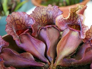 Sarracénie pourpre - Sarracenia purpurea