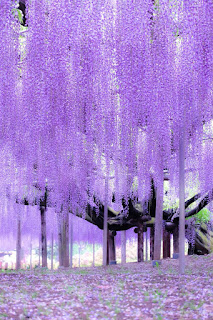 arbol-wisteria-o-vides-trepadoras