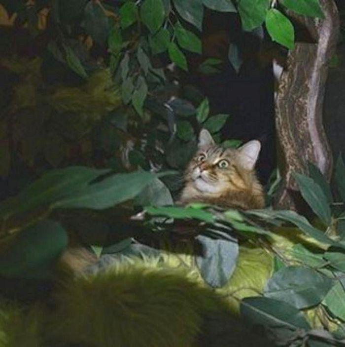 Maine Coon Cat Furniture