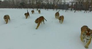 Μοναδικό Βίντεο δείχνει Drone να καταδιώκεται από τεράστιες τίγρεις της Σιβηρίας