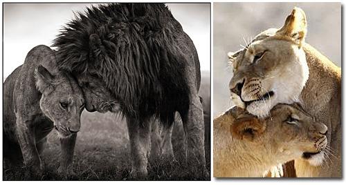 Leões - Socialização