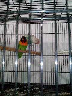 Ciri-ciri lovebird tidak jodoh
