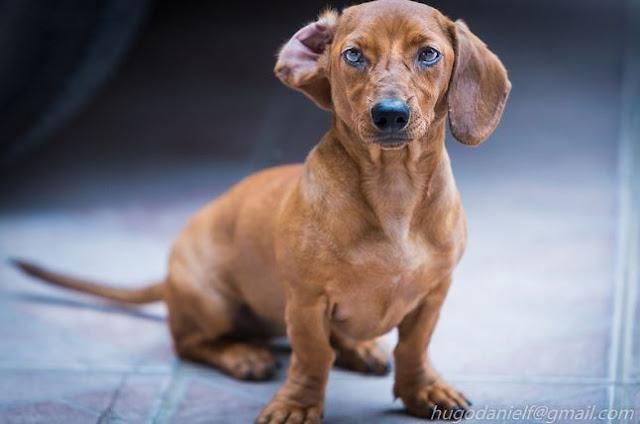DACHSHUND cão dog