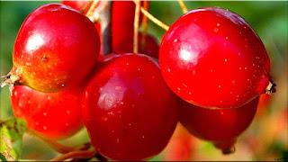 gambar buah hawthorn