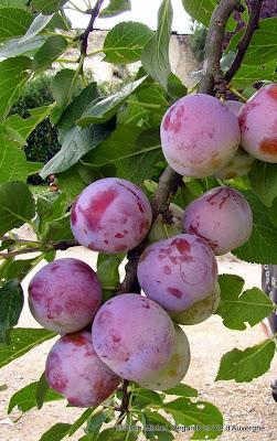paysage d'été, prunes