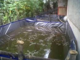 Pemeliharaan kolam terpal ikan gurame