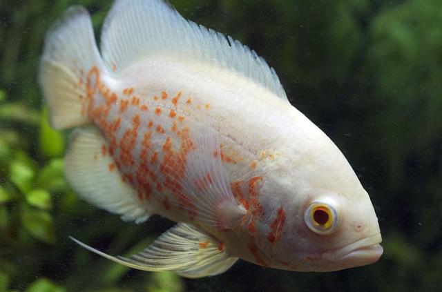lemon oscar fish - photo #38