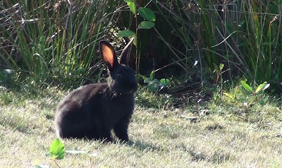 Black bunny eating grass by rabbit path