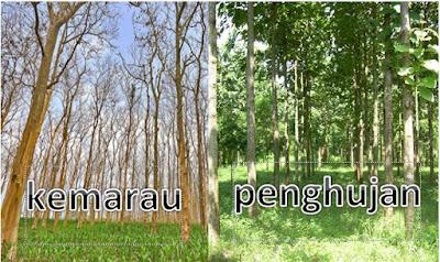 Tujuan Pohon Jati Menggugurkan Daunnya Ketika Musim Kemarau Tujuan Pohon Jati Menggugurkan Daunnya Ketika Musim Kemarau