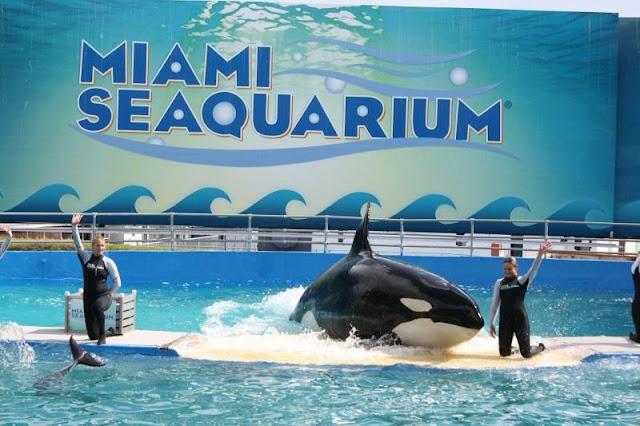 Show da baleia orca no Miami Seaquarium: o maior aquário da Flórida