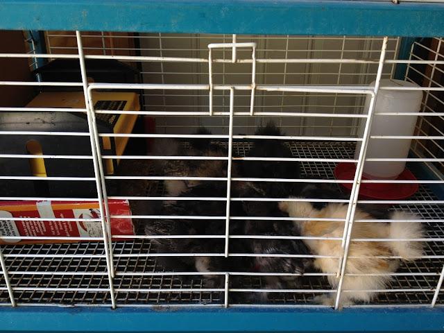 cage chicks