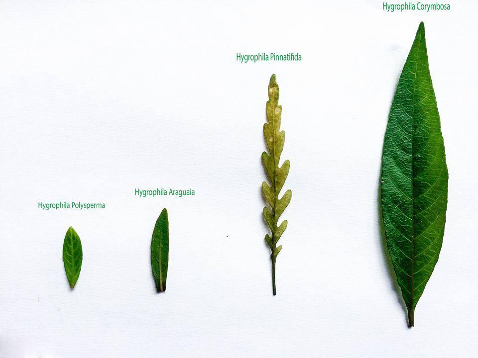 hydrophila pinnatifida Hygrophila araguaia Hygrophila Polysperma