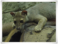 Fossa Animal Pictures
