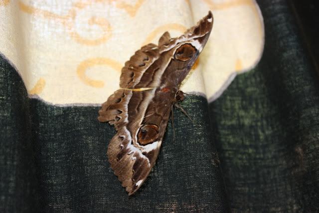 Ночная бабочка в Гоа