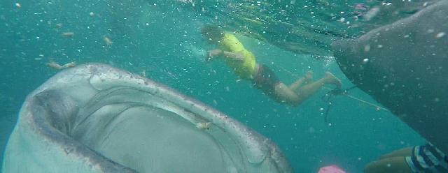 Hiu+Paus+Whale+Shark
