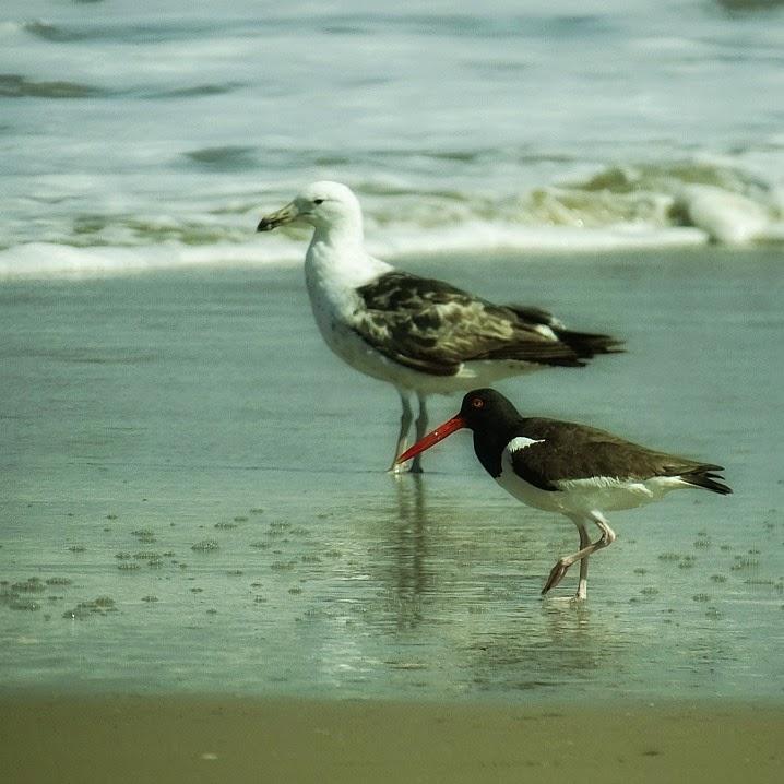 Gaivotão e piru piru, na beira da praia - Parque Nacional da Lagoa do Peixe