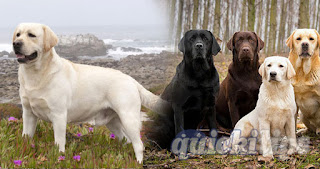 Amazing facts about Labrador Retriever