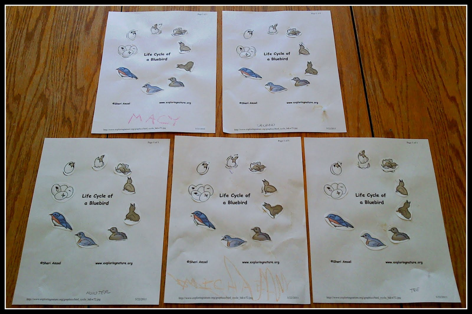 The Walnut Acre Chronicles Bird Life Cycle Coloring Page