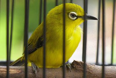 Tips Dan Cara Mengatasi Burung Pleci Berak Air Paling Ampuh
