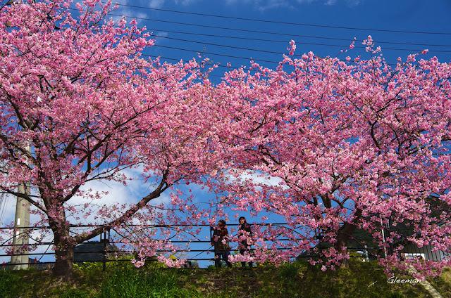 伊豆・河津櫻祭