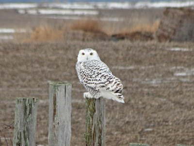 Snowy Owl - 4th Line, Wolfe Island, ON