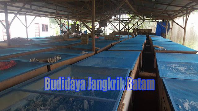 Peluang Bisnis Beternak Jangkrik di Batam Prospek Cerah