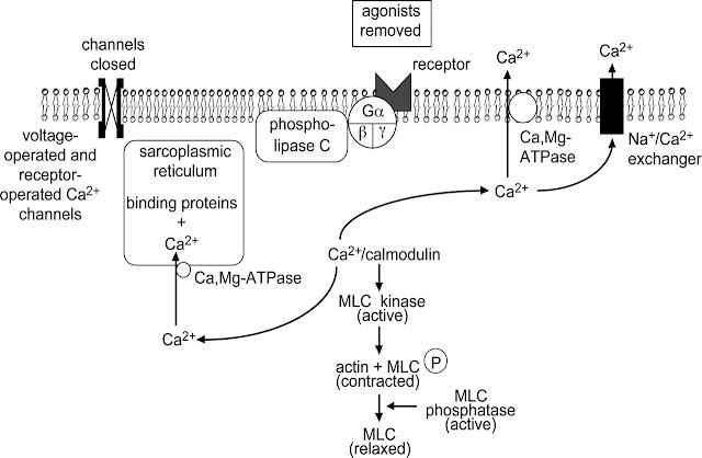 Mekanisme kontraksi otot polos