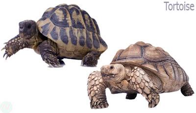 tortoise reptile