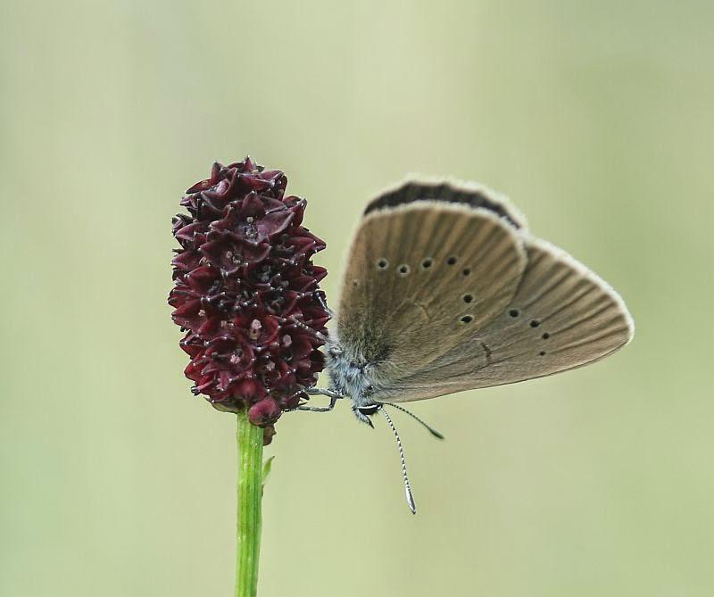 Dunkler Wiesenknopf-Ameisenbläuling, Phengaris nausithous