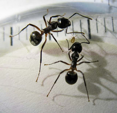 Workers of Dolichoderus sp