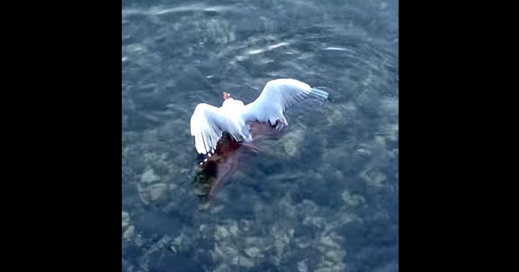 An Octopus captured a Seagull.