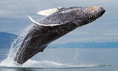 know-about-humpback-whale-facts