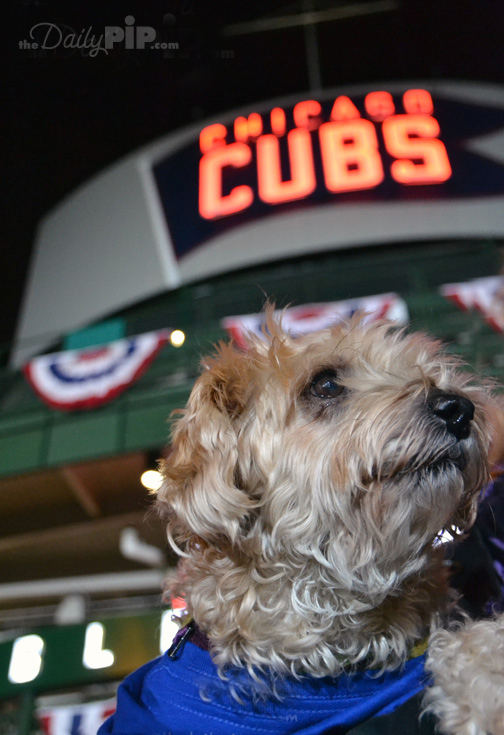 Ruby takes it all in at the World Series at Wrigley Field