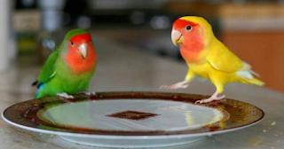 Vitamin Herbal Untuk Lovebird Supaya Sehat Dan Ngekek Panjang