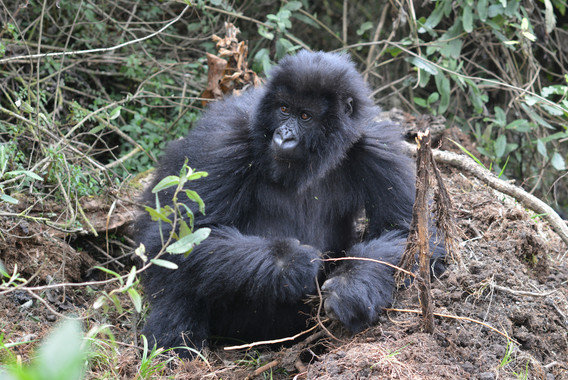 What mountain gorillas reveal with their teeth