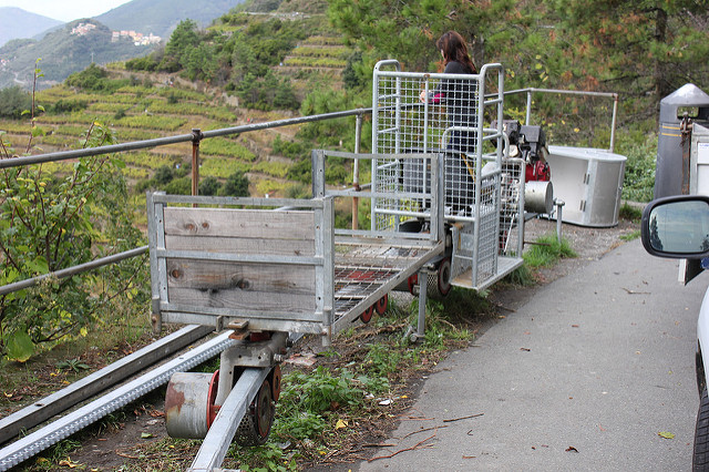 grape harvesting in the cinque terre