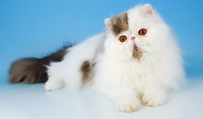 Why Exotic Shorthair Cats Have Flat Faces Too | The Pets Dialogue