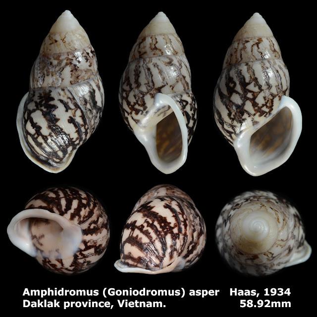 Amphidromus (Goniodromus) asper 58.92mm