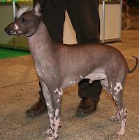 kenali ciri-ciri Anjing Hairless Khala